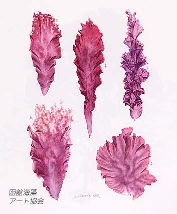 かつて東京湾の浅草沖で盛んに養殖されたアサクサノリは独特の香りと甘味や... 川嶋昭二/海藻画集